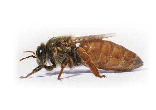 matki pszczele