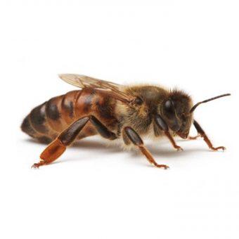 matka pszczela buckfast